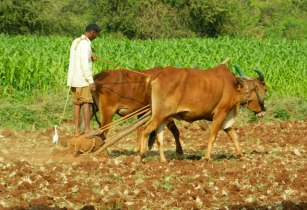 cattle african farming